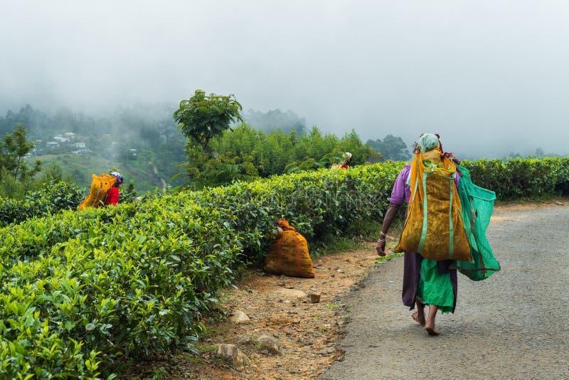 Haputale, Sri Lanka - April 18 2018: Lokale vrouw die theebladen voor het maken van traditionele drank verzamelen royalty-vrije stock foto's