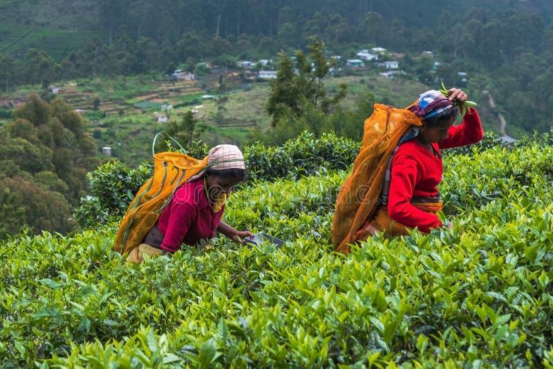 Haputale, Sri Lanka - 18 avril 2018 : Femme locale rassemblant des feuilles de thé photo libre de droits
