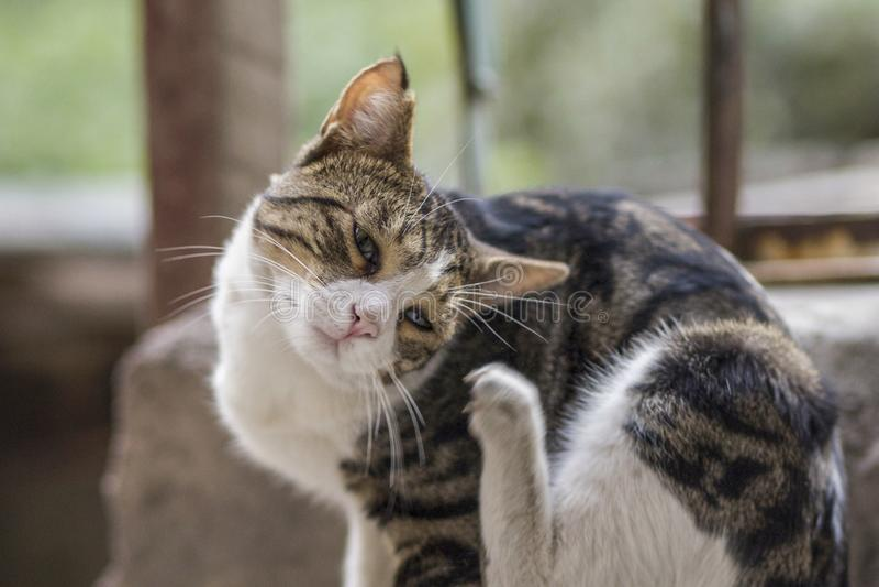har nytt foto 2018, den roliga tillfälliga katten en mycket ledsen och trött framsida royaltyfria foton