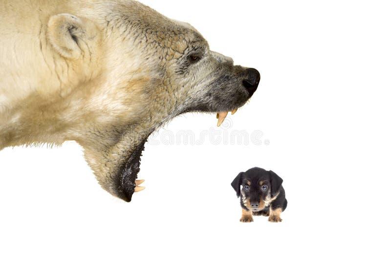 Harassement mały pies niedźwiedziem polarnym fotografia royalty free