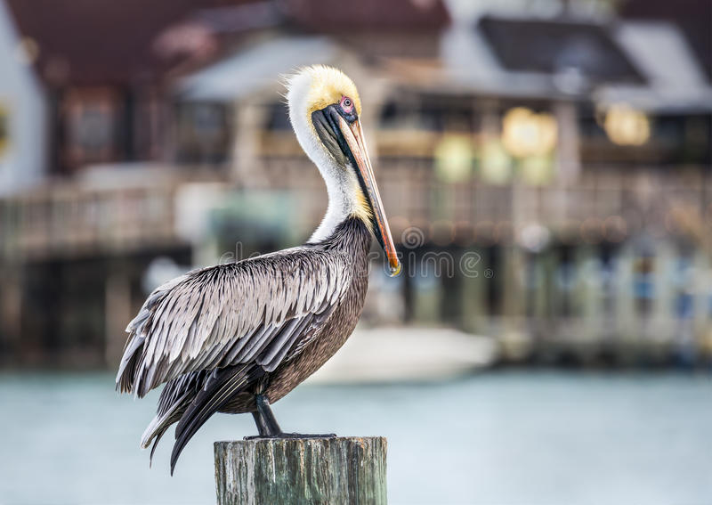 Harbor Pelican. A brown pelican rests atop a pier piling with a harbor waterfront behind. Photographed at John`s Pass, between Madeira Beach and Treasure Island stock photos