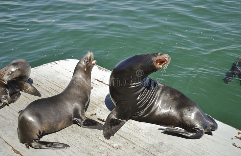 Download Harbor Sea Lion stock photo. Image of water, daytime - 22663470