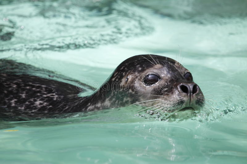 Download Harbor seal stock photo. Image of animal, mammal, nature - 14502904