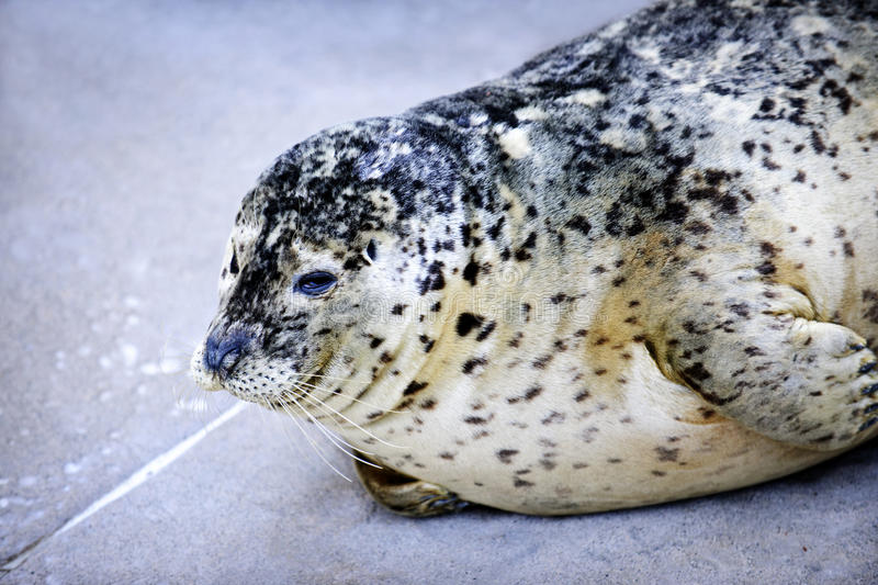 Download Harbor Seal stock photo. Image of columbia, happy, resting - 18794168