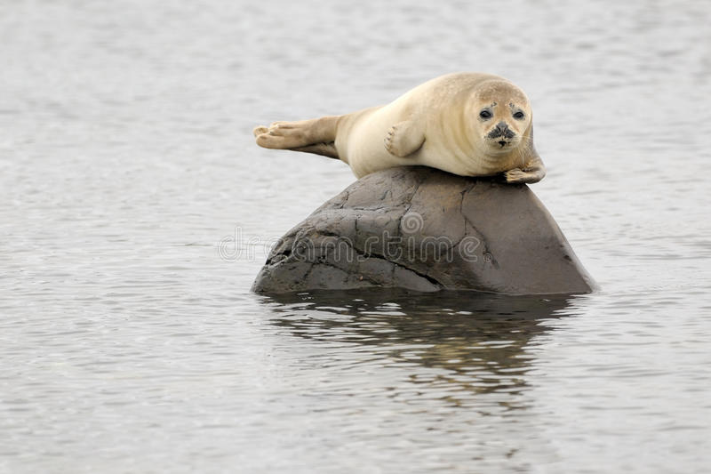Download Harbor Seal stock photo. Image of mammal, animal, ecotourism - 37880028