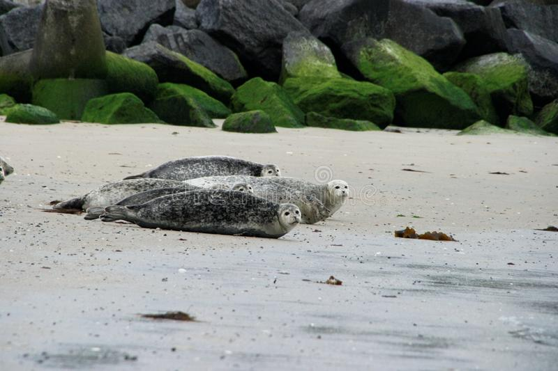 Download Harbor Seal Stock Photography - Image: 9454152