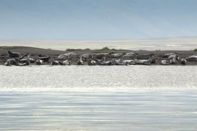 Download A Harbor Seal Colony In Iceland Stock Photo - Image: 17603610