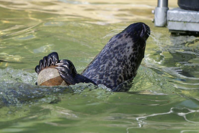 Harbor Seal, Fauna, Seals, Water stock photography