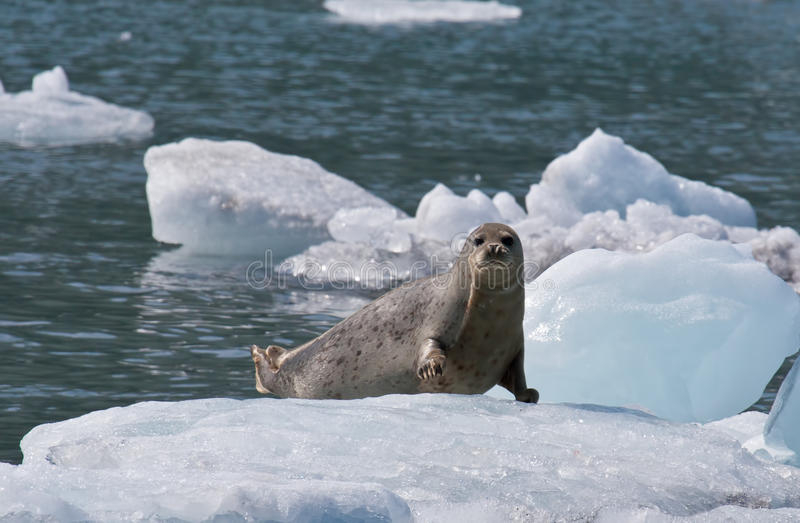 Harbor Seal on Ice Flow. A photo of a harbor seal (also known as the common seal) resting on an ice flow in Prince William Sound off the coast of Alaska royalty free stock photography