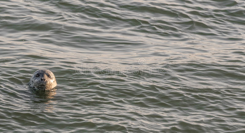 Harbor Seal Peeking its Head out of the Pacific Ocean at Dawn. Harbor seal popping his head out of the water in the San Francisco Bay stock image