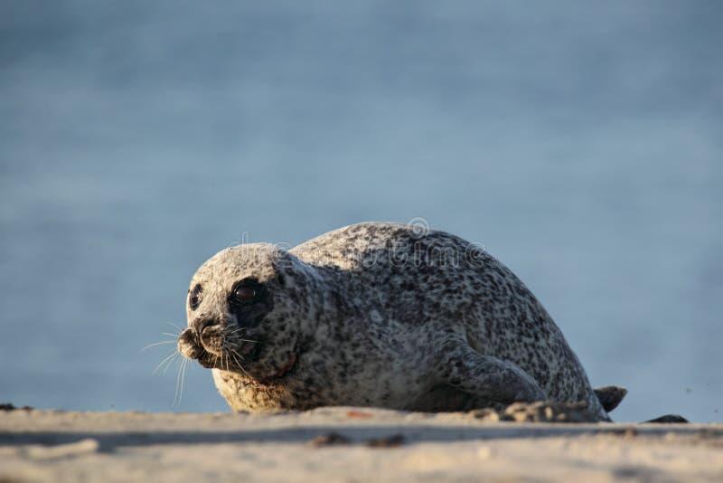 Download Harbor Seal (Phoca Vitulina) Stock Photo - Image: 21500648