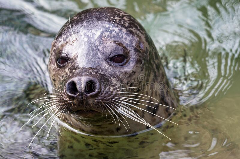 Harbor Seal Phoca vitulina with his head above green water.  royalty free stock images