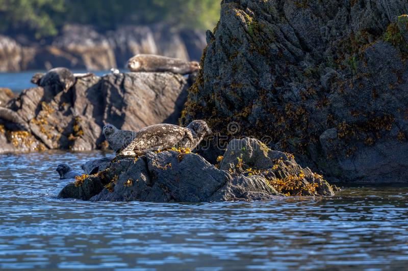 Harbor seal sitting on the rocks in Alaska royalty free stock photography