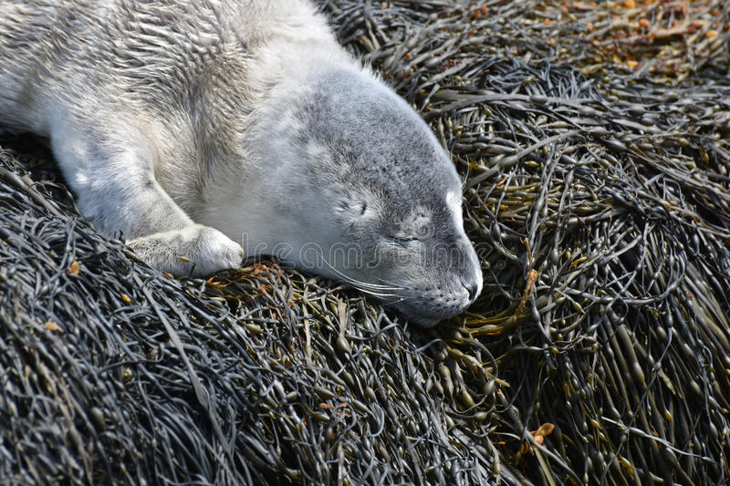 Harbor Seal Pup With Fluffy Gray Fur Sleeping on Seaweed stock photos