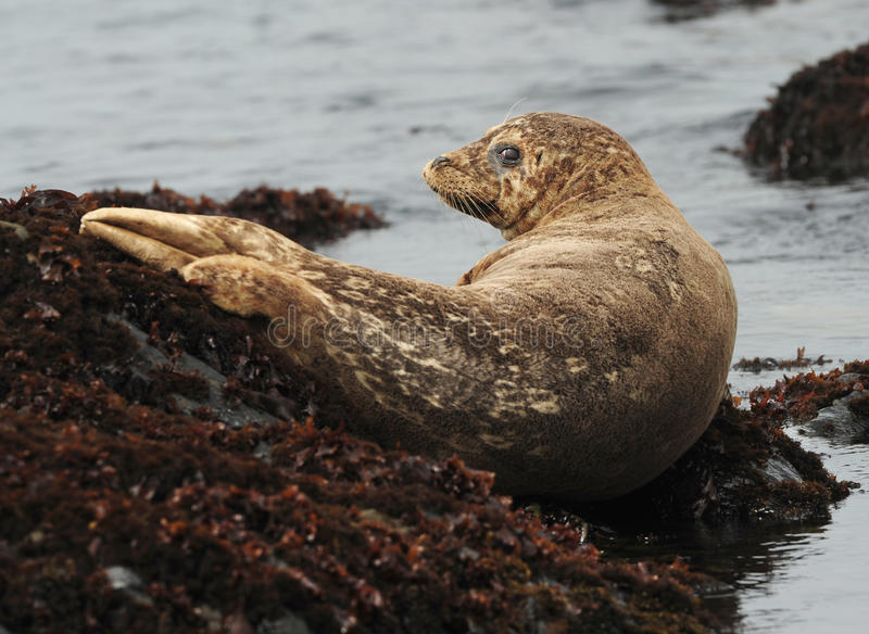 Harbor seal on rock, big sur, california stock images