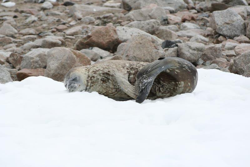 Harbor Seal, Seals, Fauna, Marine Mammal stock images