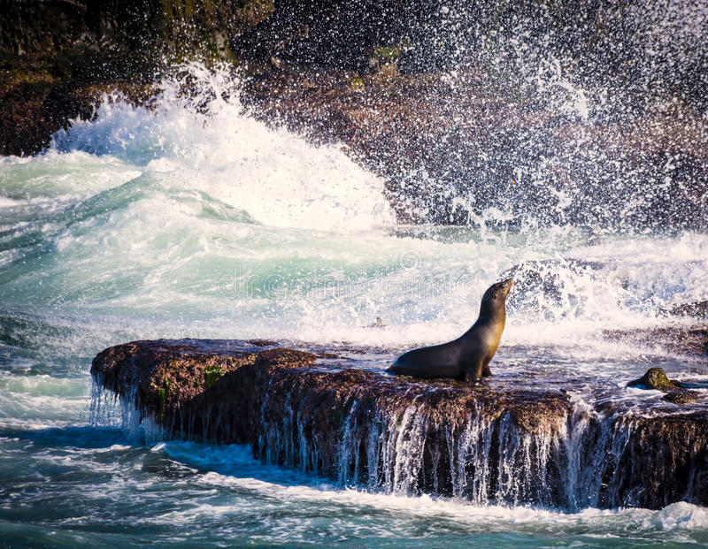 Sea Lion, Surf, La Jolla, California. A sea lion sits on the rocks in La Jolla Cove, watching the surf , in the tourist destination of La Jolla, southern royalty free stock photos