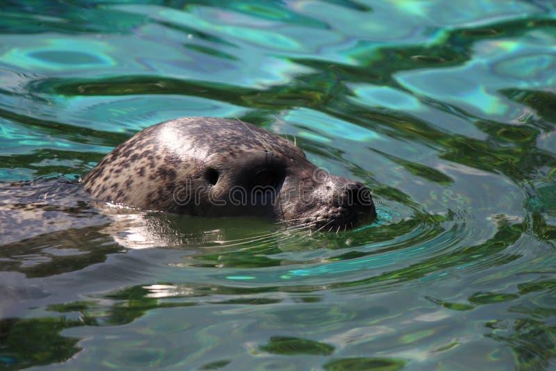 Harbor Seal, Water, Fauna, Mammal Free Public Domain Cc0 Image