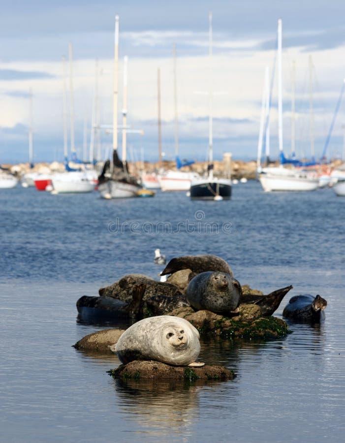 Download Harbor seals stock image. Image of wild, animals, port - 1457139