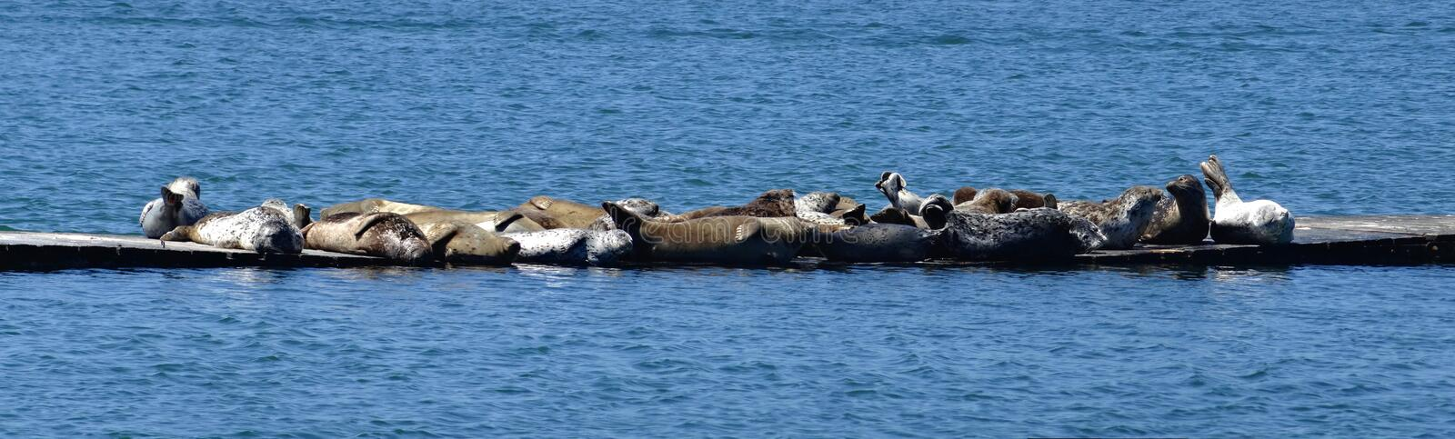Harbor seals assembled in a small group of mixed colors on a floating jetty stock image