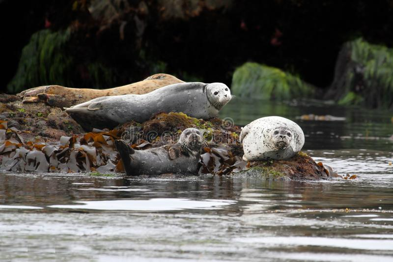 Download Harbor Seals Backing In The Sun Royalty Free Stock Images - Image: 26317809