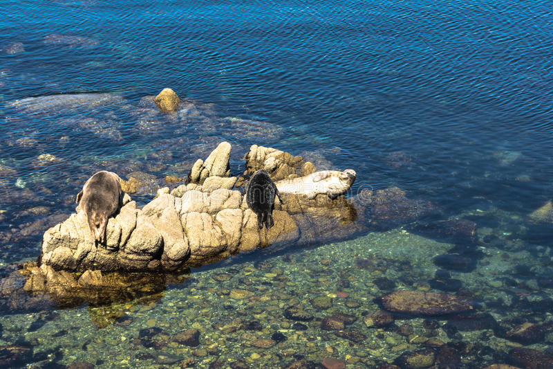 Harbor seals on the rocks in Monterey, California stock photo