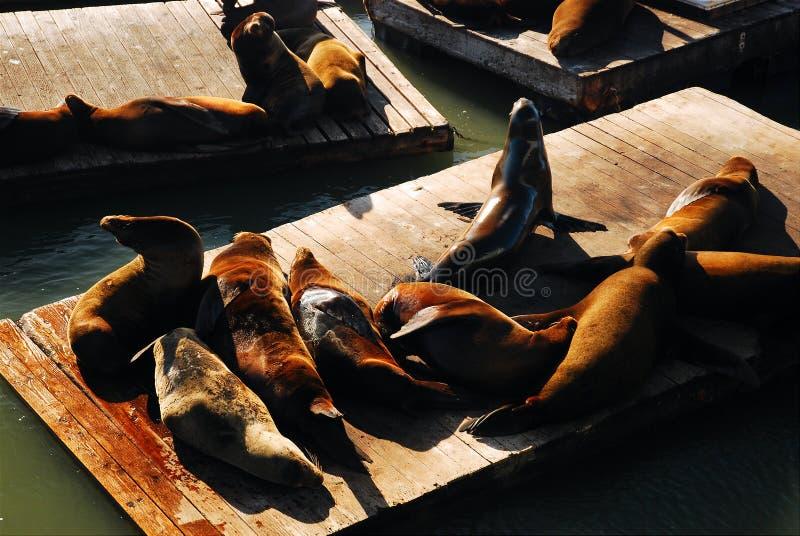 Seals, Pier 39, San Francisco royalty free stock images