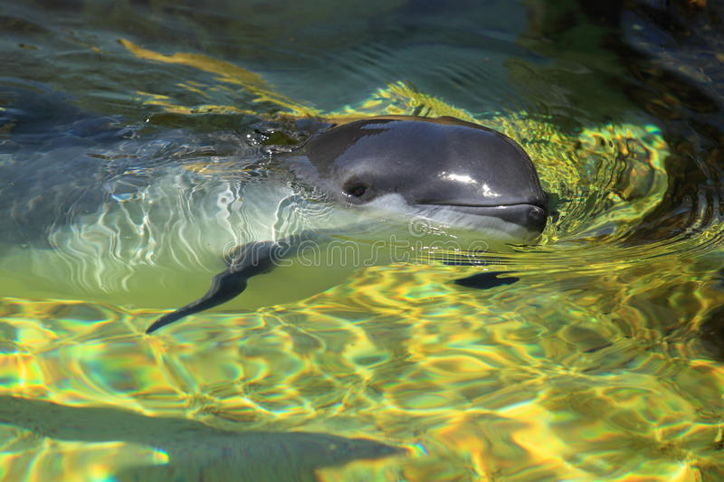 Download Harbour porpoise stock photo. Image of porpoise, marine - 41837712