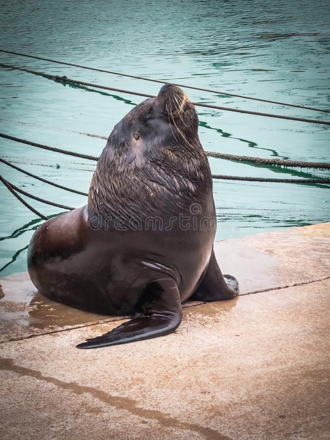 Harbour and sea lions, city of Mar del Plata, Argentina sea wolf.  stock photography