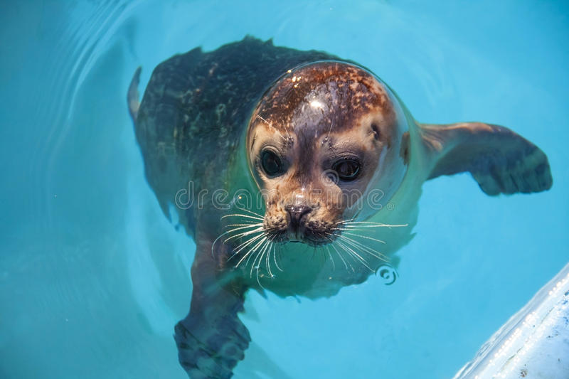 Download Harbour seal stock photo. Image of pinniped, head, harbour - 30558080