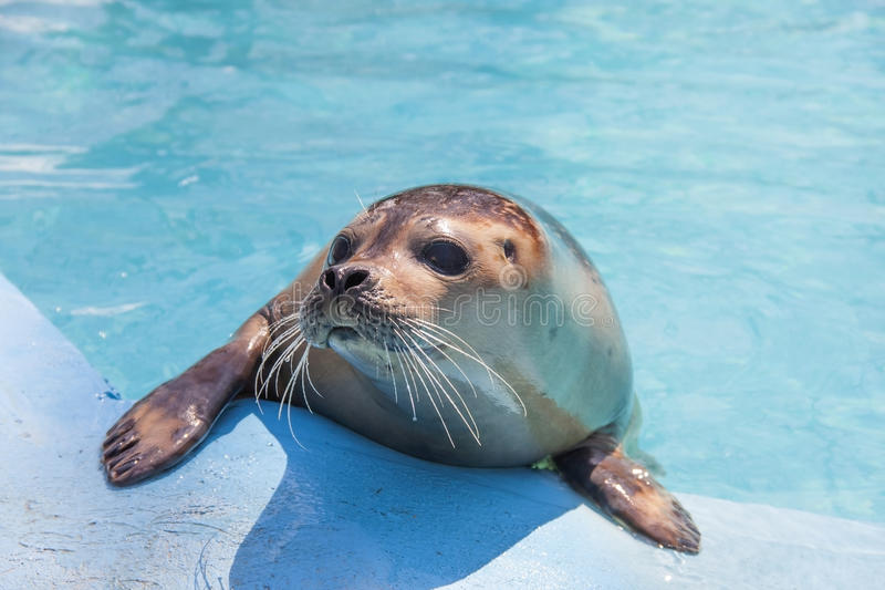 Download Harbour seal stock photo. Image of head, harbour, seal - 30558128