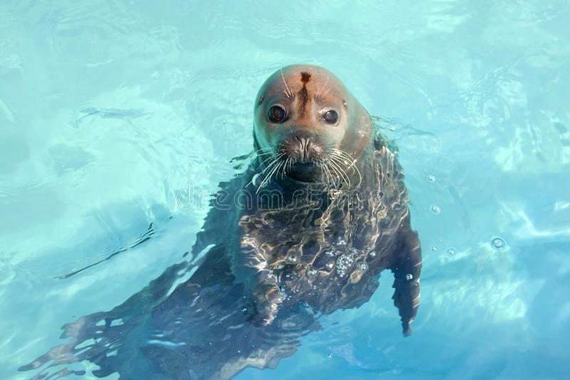 Download Harbour seal stock image. Image of pinniped, water, vitulina - 30558173