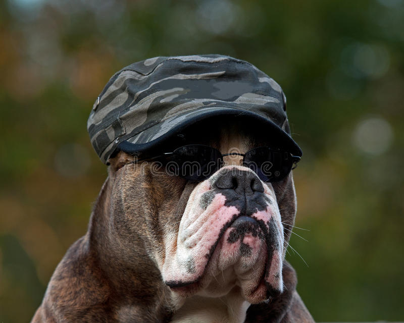 Hard army bulldog. An Olde English Bulldog in army with authoritative management style and with sunglasses ...... in Sweden royalty free stock photography