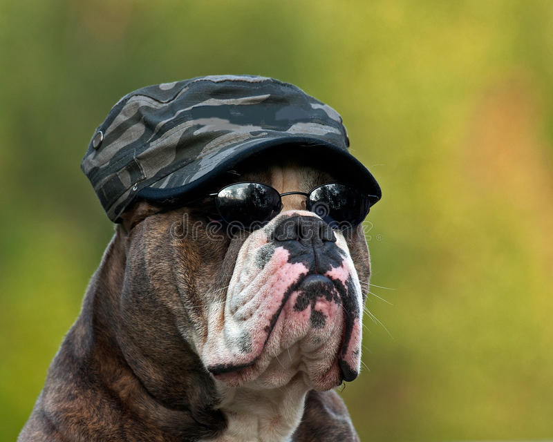 Hard army bulldog stock photos