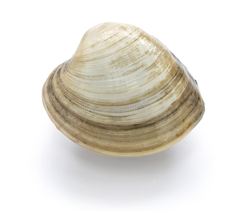 Hard clam, quahog stock photo