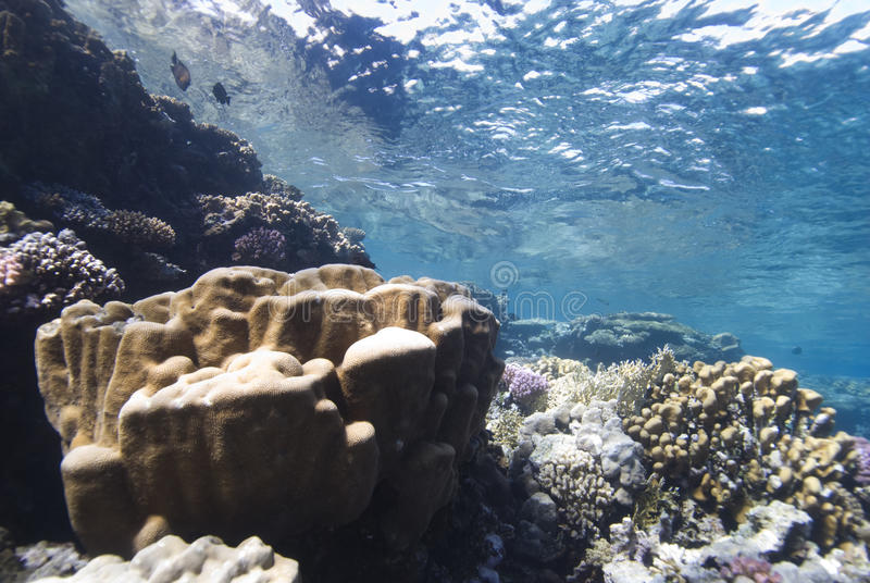 Hard Coral Reef plate. And reflective surface of the sea. Sharm El Sheikh, Red Sea, Egypt stock photos