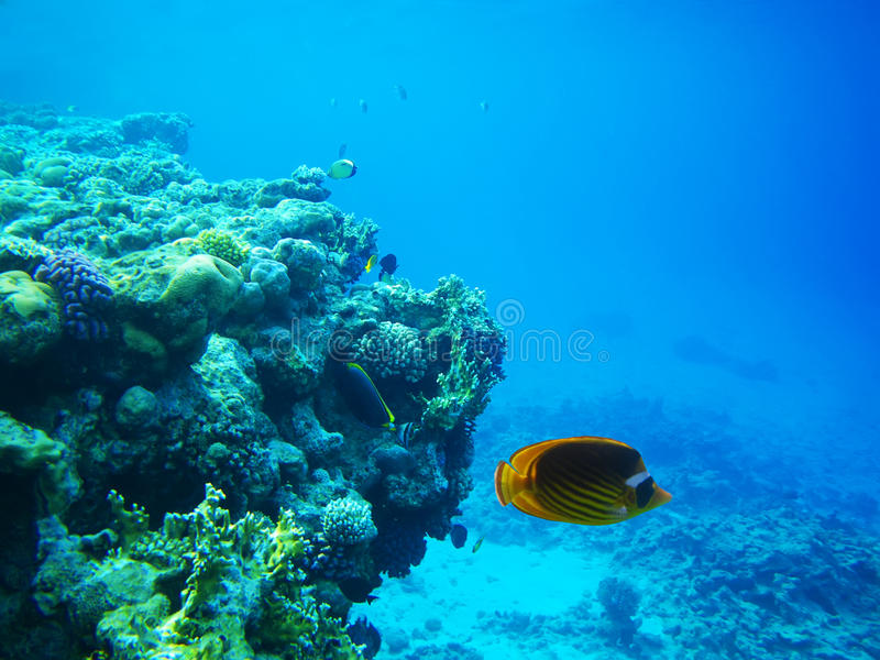 Hard-coral reef in Red sea royalty free stock images