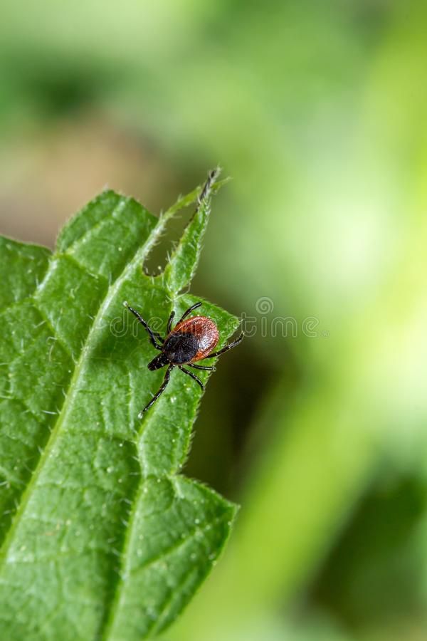 Hard tick Ixodes ricinus ectoparasite external parasite waiting for victims on a green leaf. In spring macro close up royalty free stock photo
