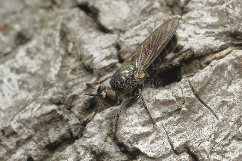 Black Diptera or fly walking down a piece of bark. Hard to be seen tiny Diptera or fly walking down on the bark of a large tree in the shadows searching for royalty free stock photos