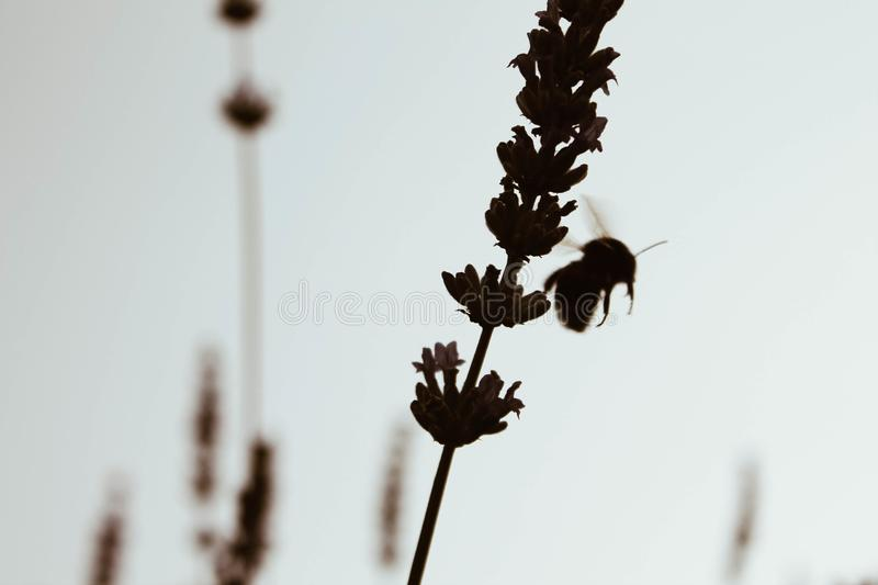 Hard working bee is collecting honey from flowers royalty free stock photography