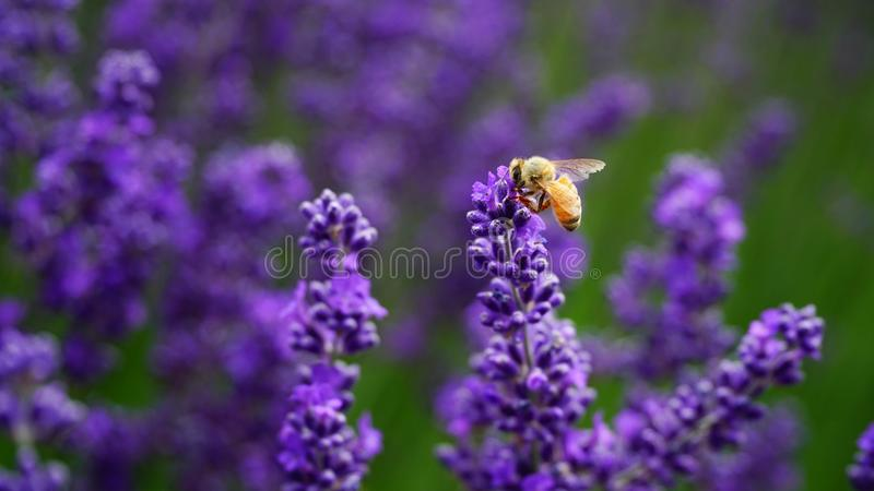 Hard-working bee in Lavender farm, New Zealand royalty free stock image