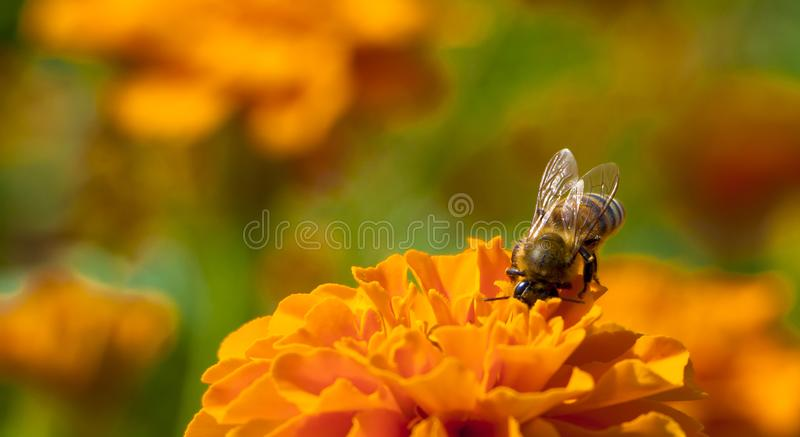 The hard-working bee is pollinated by blackberry, a garden flower royalty free stock images