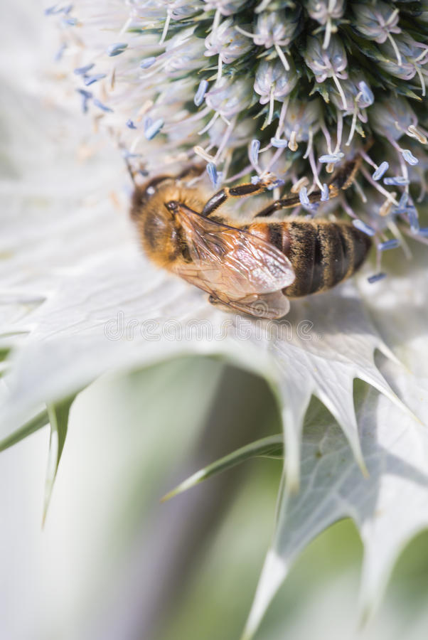Hard working bee pollinates flower in extreme macro royalty free stock photography