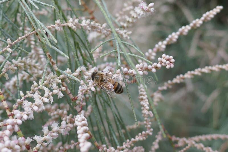 Australian Honey Bee Collecting Nectar royalty free stock photo