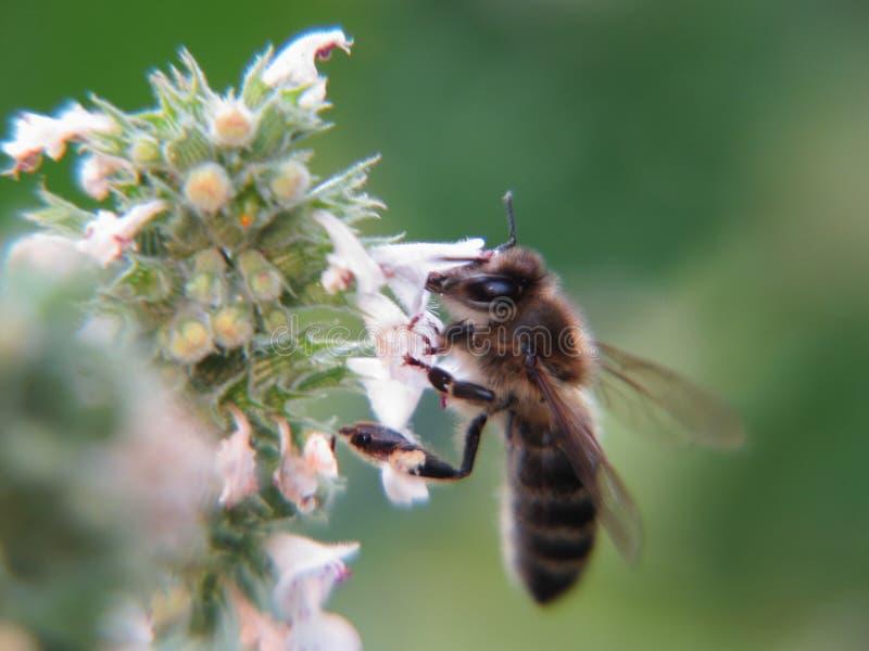 Hardworking bee on melissa Melissa officinalis flowers. stock photo