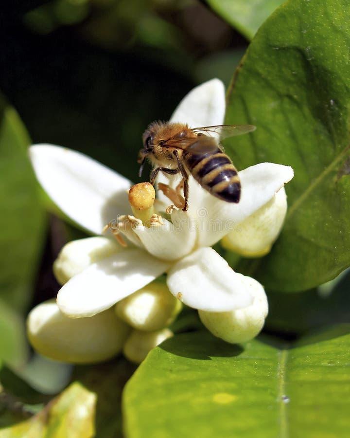 Hard Working Honey Bee Stock Image