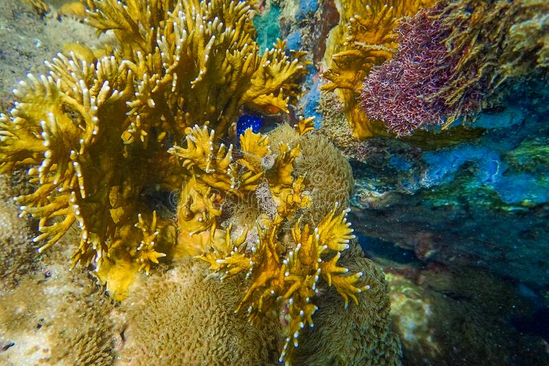 Harde en zachte koralen onder water van het strand van Anse a l'Ane, Martinique, Caraïbische zee, West Indies, Mintilles stock foto