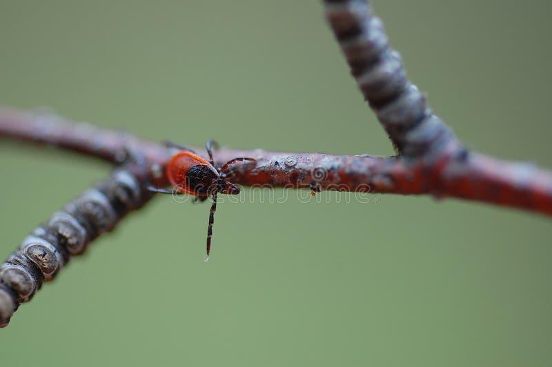 Harde Tick Ixodes-persulcatus stock afbeeldingen