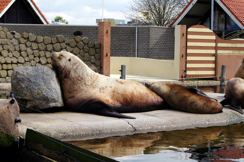 Harderwijk dolphinarium. The Dolphinarium Harderwijk is the home of Spetter and his animal friends. allot of dolphins and numerous walruses, sea lions, seals and royalty free stock photo