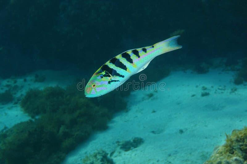 Hardwicke sixbar del Thalassoma del wrasse de los pescados tropicales fotos de archivo